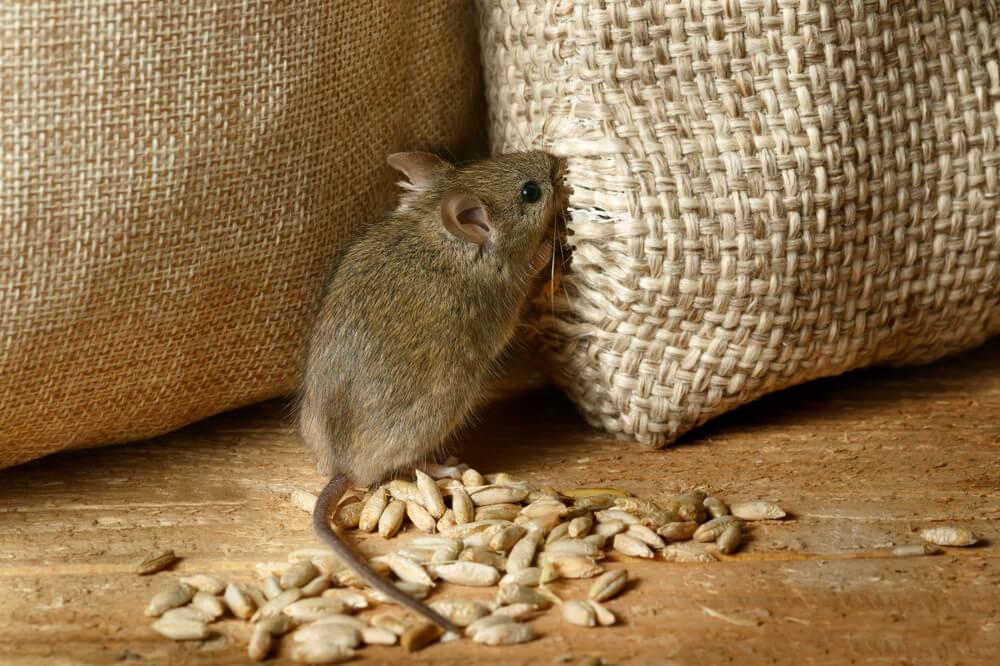 mus i skafferi